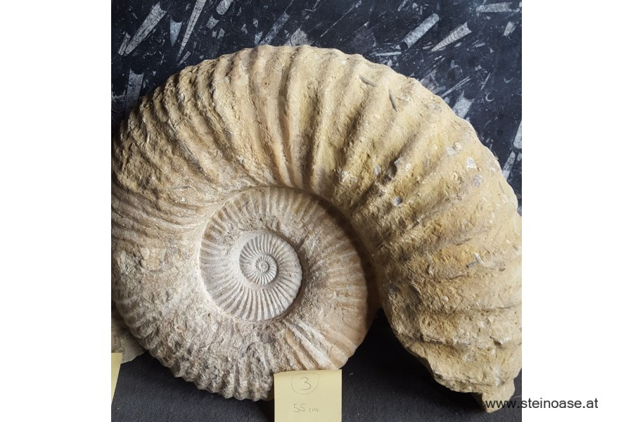 Ammonite versteinert XL